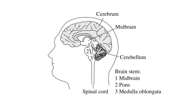 Brain Structure from book